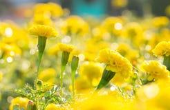 Ringelblumenblumen mit Wassertropfen morgens Stockfotos