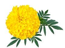 Ringelblumenblumen oder Calendulablumenisolat auf weißem Hintergrund Stockfotos