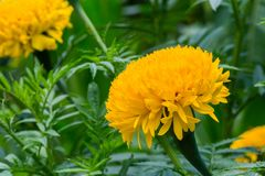 Ringelblumenblumen sind hell Stockbilder