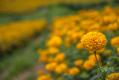 Ringelblumenblumen in Thailand Stockfotos