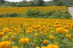 Ringelblumenblumen in Thailand Lizenzfreies Stockfoto