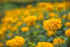 Ringelblumenblumen in Thailand Stockbild