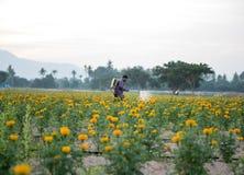 Ringelblumenfelder mit dem Hintergrundgärtner, der Schädlingsbekämpfungsmittel verwendet Lizenzfreies Stockbild