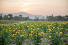 Ringelblumenfelder mit Hintergrundsonnenuntergang, Thailand Stockbild