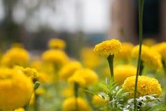 Ringelblumenfeldgarten stockfotografie