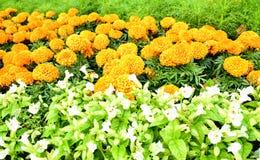 Ringelblumengarten Stockfotografie