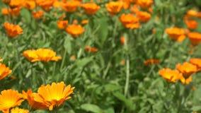 Ringelblumenkraut-Betriebsblüte bewegt sich in Wind in der ländlichen Gartenplantage 4K stock footage
