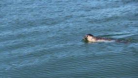 Ringelrobbe im Wasser des Pazifischen Ozeans vor der Küste der Halbinsel Kamtschatka, Russland lizenzfreie stockbilder
