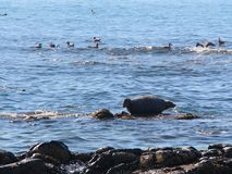 Ringelrobbe liegt auf felsigem Riff durch Halbinsel Kamtschatka stockbilder