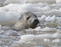 Ringelrobbe schwimmt unter Eisschollen stockbild