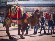 Ringend Festival des Kamels Lizenzfreie Stockfotografie