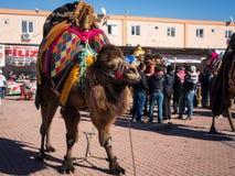 Ringend Festival des Kamels Lizenzfreies Stockbild