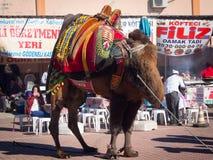 Ringend Festival des Kamels Lizenzfreie Stockbilder