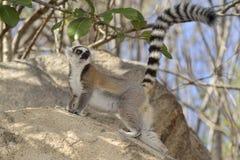Ringendstück Lemur stockfoto