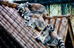 Ringendstück Lemur Stockbild