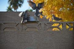 Ringhals Tauben, die zu Abend essen stockfoto