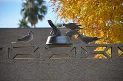Ringhals Tauben, die zu Abend essen stockbilder