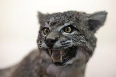 Ringhio del gatto selvatico (rufus del lince) Fotografia Stock