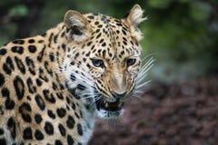 Ringhio del leopardo del Amur, mostrante i denti Fotografia Stock