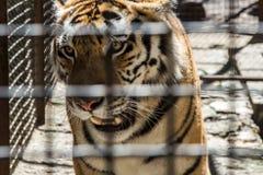 Ringhio, tigre in una gabbia, salvataggio, protezione degli animali, sicurezza, SOS fotografia stock libera da diritti