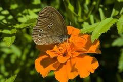 Ringlet бабочки и оранжевый цветок стоковые изображения rf