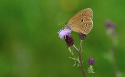 Ringlet (Aphantopus hyperantus) Royalty Free Stock Photos