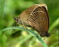 Free Ringlet Aphantopus Hyperantus Stock Photos - 35317373