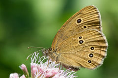 Ringlet - Aphantopus hyperantus. Ringlet Butterfly sitting on a flower Royalty Free Stock Photos