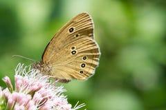 Ringlet - Aphantopus hyperantus. Ringlet Butterfly sitting on a flower Stock Photography
