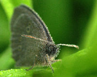 Ringlet Aphantopus hyperantus Royalty Free Stock Photos