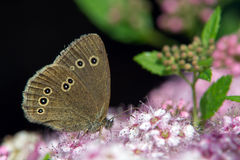 Ringlet (Aphantopus hyperantus). The Ringlet (Aphantopus hyperantus) drinking nectar from Spiraea japonica 'Anthony Waterer' in Uppland, Sweden royalty free stock photos