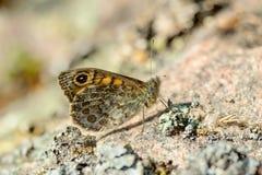 Ringlet (Aphantopus hyperantus) Royalty Free Stock Image
