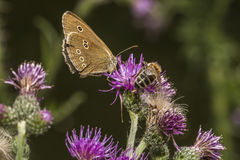 Ringlet (Aphantopus hyperantus) Royalty Free Stock Photography