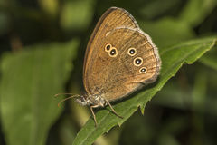 Ringlet (Aphantopus hyperantus) Royalty Free Stock Photo
