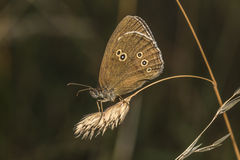 Ringlet (Aphantopus hyperantus) Stock Photo