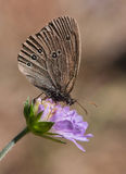 Ringlet on a blue flower Royalty Free Stock Photo