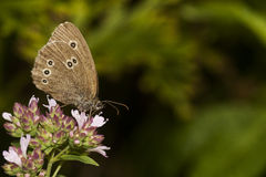 Ringlet Royalty Free Stock Photo