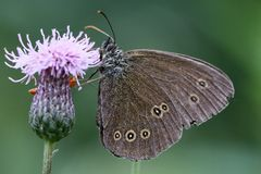 Ringlet buttefly Royalty Free Stock Images