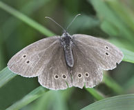 Free Ringlet Butterfly Royalty Free Stock Photo - 26063595