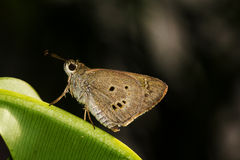 Ringlet butterfly Stock Image