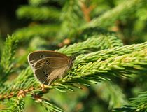 Ringlet butterfly Royalty Free Stock Image