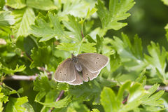 Ringlet butterfly (Aphantopus hyperanthus) Royalty Free Stock Images