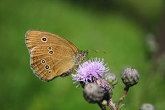 Ringlet butterfly, Aphantopus hyperantus, Royalty Free Stock Photo