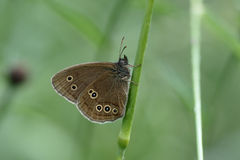 Free Ringlet Butterfly, Aphantopus Hyperantus Stock Photography - 57525932