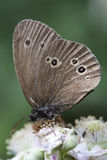 Ringlet Butterfly (Aphantopus hyperantus) on Bramble Blossom Stock Photos