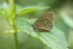 Ringlet butterfly (Aphantopus hyperantus) closeup Stock Images