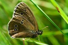 Ringlet butterfly (Aphantopus hyperantus) Stock Photography