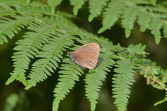 Ringlet butterfly Royalty Free Stock Photos