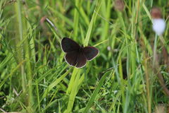 Ringlet Butterfly (Aphantopus hyperantus) Royalty Free Stock Photos