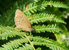 Ringlet Butterfly - Aphantopus hyperantus Royalty Free Stock Image